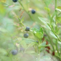 Ut i blåbärsskogen